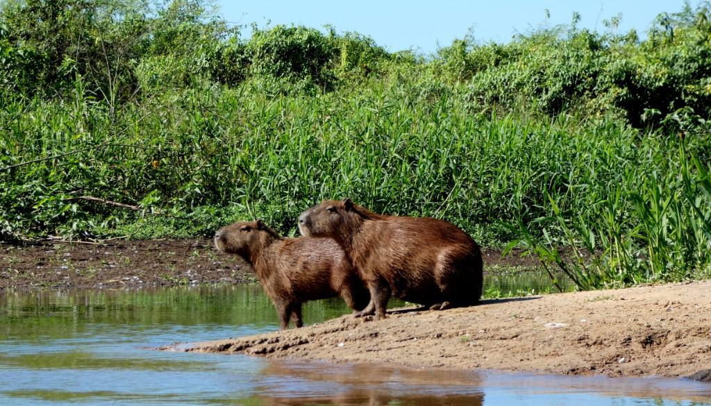 'Wildlife spotten in de Pantanal'